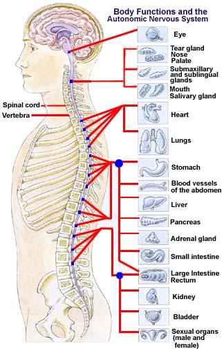 auto-nervous-system2