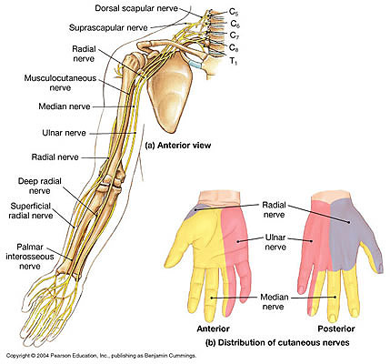 Shoulder Arm Structures